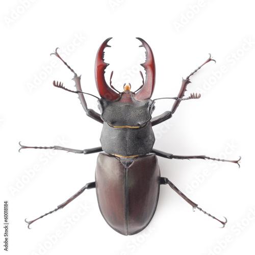 In de dag Neushoorn Rhinoceros beetle isolated on white