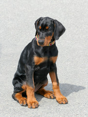 Typical Dobermann Puppy