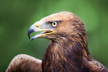 Golden Eagle crossed with a Russian Steepe Eagle