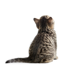kitten rear or back view isolated on white