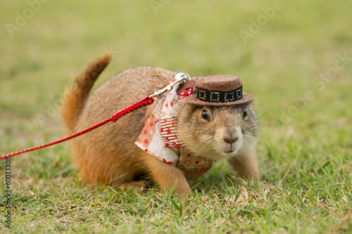 prairie dogs dress up  in western clothes and hat  on field