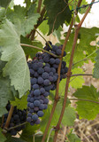 RACIMOS DE UVAS NEGRAS,  Cluster of grapes