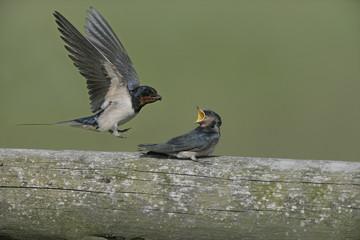 Swallow,  Hirundo rustica,