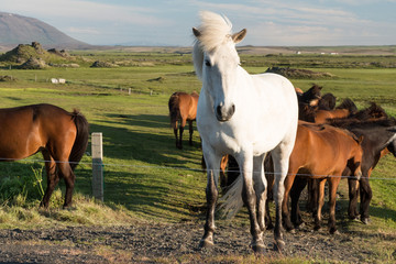 Icelandic Horses on a Meadow at Myvatn