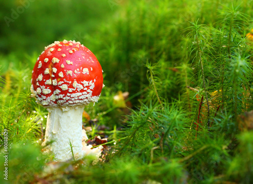 The Fly Agaric or Fly Amanita (Amanita muscaria).