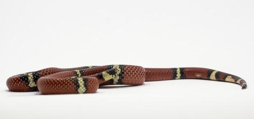 Snake on White