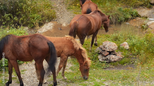 Wild horses graze in the mountains