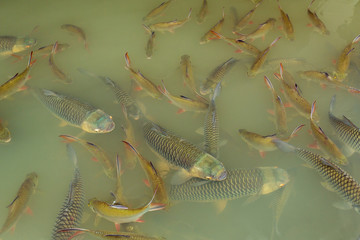Fish in the lake of Thailand