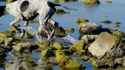 Dog playing in water.