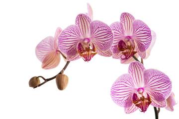 Orchideernrispe