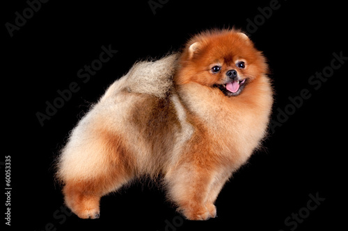 Pomeranian (spitz) dog isolated on black background