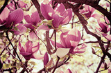 Magnolia flowers - 60053951