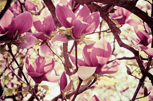 Fotobehang Magnolia Magnolia flowers