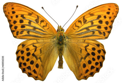 Isolated male Silver-washed Fritillary