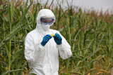 biotechnology engineer examining  corn cob on field poster