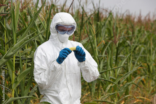 biotechnology engineer examining  corn cob on field