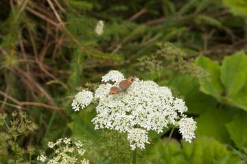 fiori farfalla