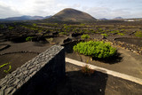 cultivation home viticulture  lanzarote spain   geria vine screw