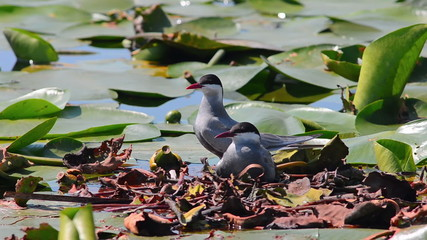 Whiskered Tern. Birds on the like sitting on a nest