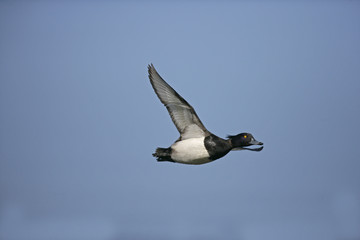 Tufted duck,  Aythya fuligula
