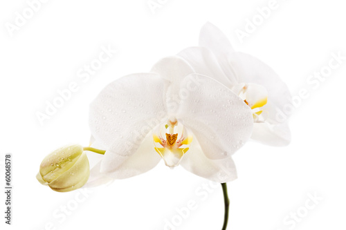 White Orchid closeup on a white background
