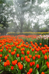 beautiful tulips field in the park