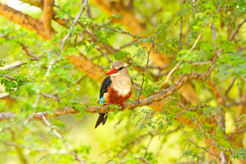 Chestnut-Bellied Kingfisher in Africa