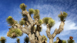 Joshua Tree in Mojave Desert