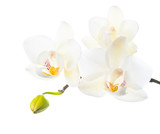 blooming white orchid is   isolated on white  background