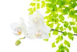 Białe orchidee - 60072121