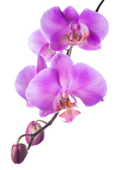 Blooming lilac  orchid is isolated on the white  background
