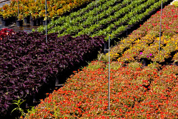 Rows Of Decorative Plants In a Nursery Setting