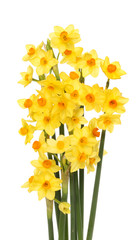 Spray of daffodils