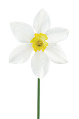 White daffodil narcissus L. blooming flower, yellow amaryllis