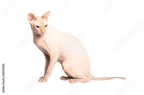 Don Sphinx (DONSPHINX) cat. Isolated on white background.