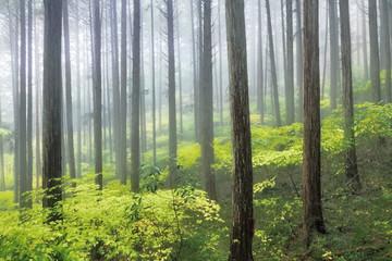 ヒノキ美林