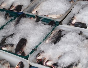 Grey Mullet Fish Packed in Ice