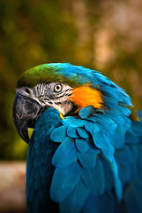 Wild talking Blue Macaw Portrait Bird