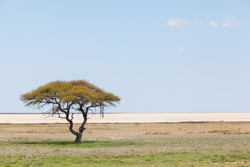 Tree in open field, Namibia