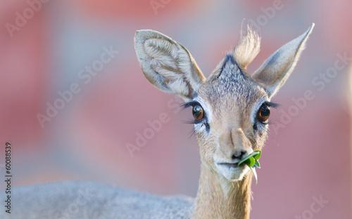 Staande foto Antilope Kirk Dik-dik (Madoqua kirkii)