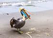 Pelican on Ballestas Islands,Peru  South America