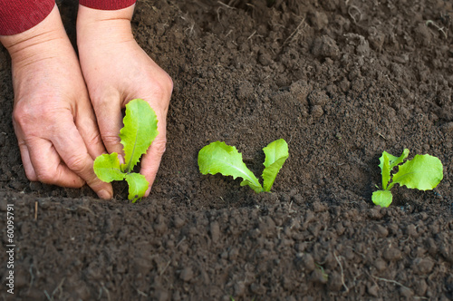 Planting seedlings in the soil in spring. Female hands with lett