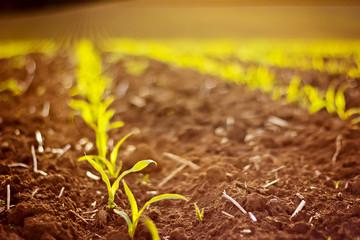 Junge Saat auf dem Feld
