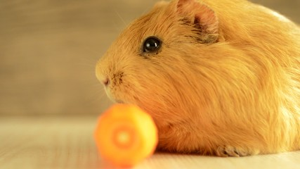 guinea pig golden color eats carrots, close-up