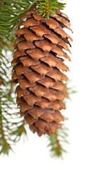 fir tree branch with cone isolated on white