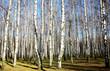 Sunny autumn birch grove on blue sky