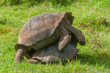 Pair of Galapagos giant tortoises mating