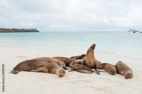Fotobehang Leeuw Group of Galapagos sea lions sleeping on a beach