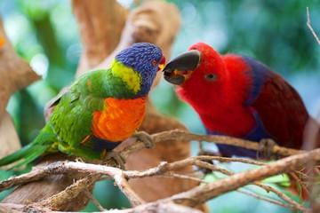 Perroquets , Australie