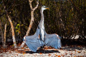 Lava Heron, Galapagos Islands, Ecuador